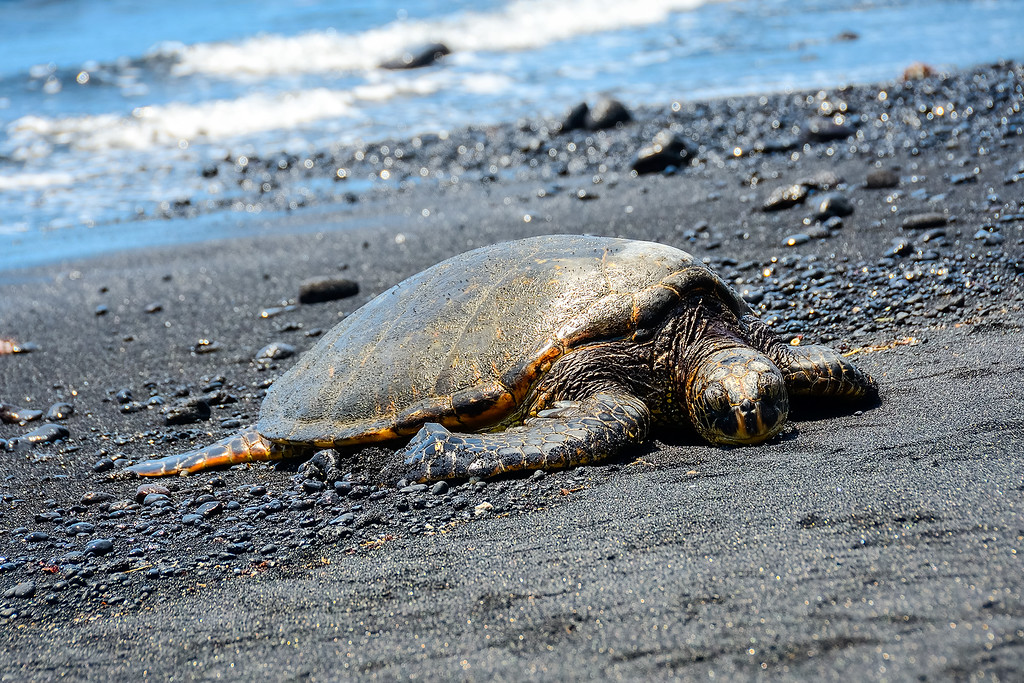 Sea Turtles Big Island Hawaii