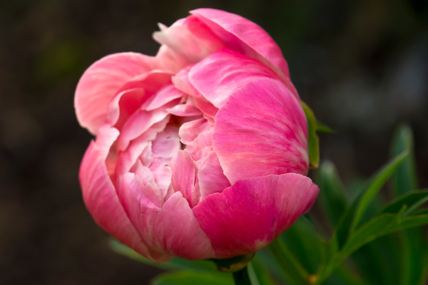 C. Herbaceous peonies other venues