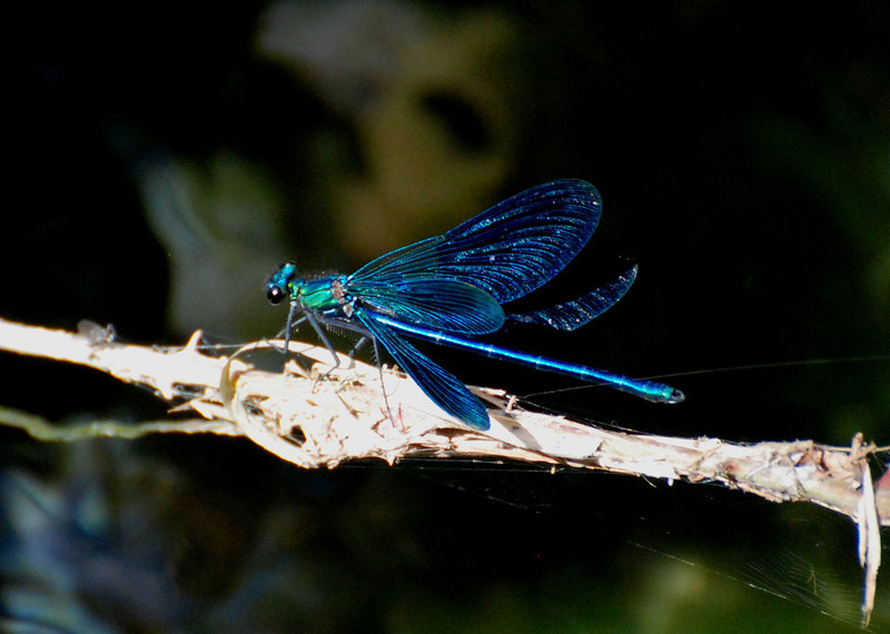 Beautiful Demoiselle, New Forest, UK