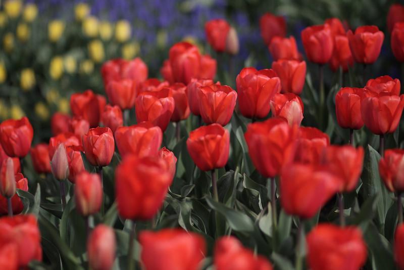 Tulips-2010 01.JPG