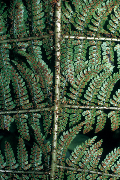 "Dryopteris unidentata This image is licensed under the Creative Commons Attribution-NonCommercial 3.0 Unported license.  You may share and adapt this work, but only with attribution (""by Hank L. Oppenheimer"") and only for non-commercial purposes unless permission is obtained from the copyright-holder (contact webmaster@hear.org)."