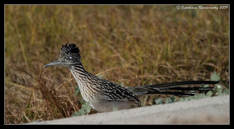 Greater Roadrunner, behind Sonny Bono Nature Center, Salton Sea, Imperial County, California, November 2009