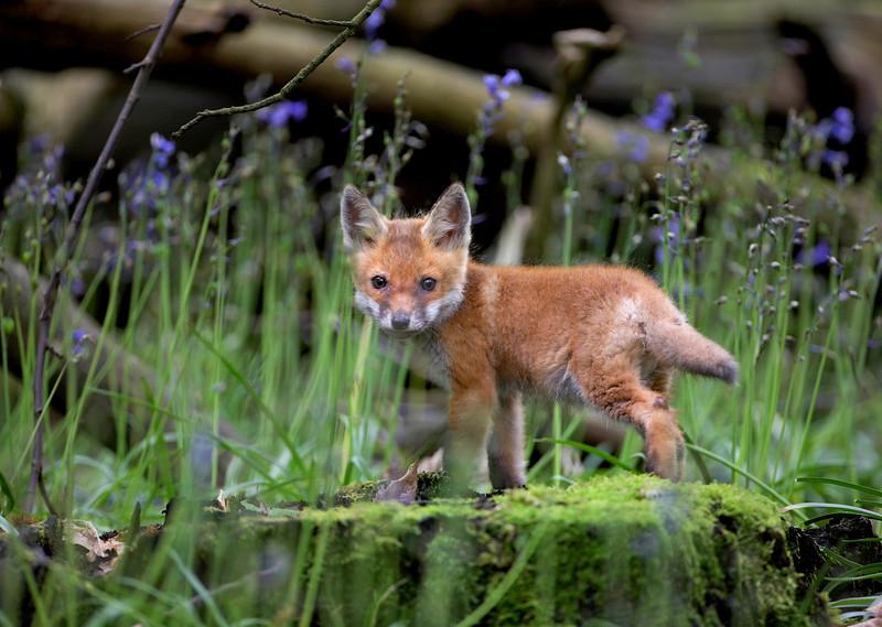101 - Fox Cub.jpg