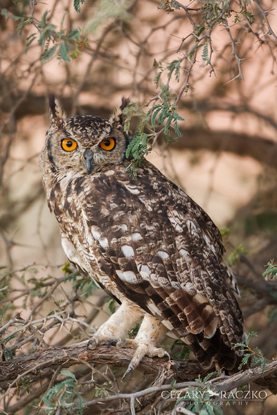 Cape Eagle-Owl (Bubo capensis)