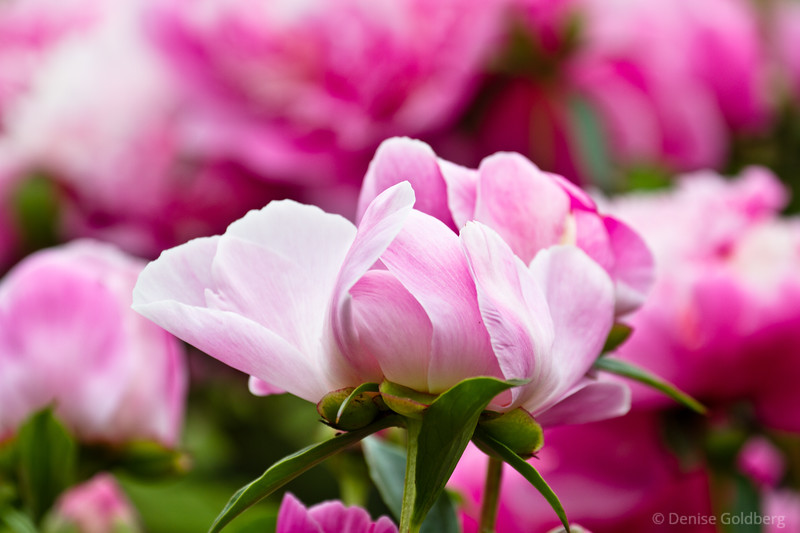 pretty in pink, peonies