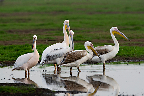 White Pelicans- שקנאים