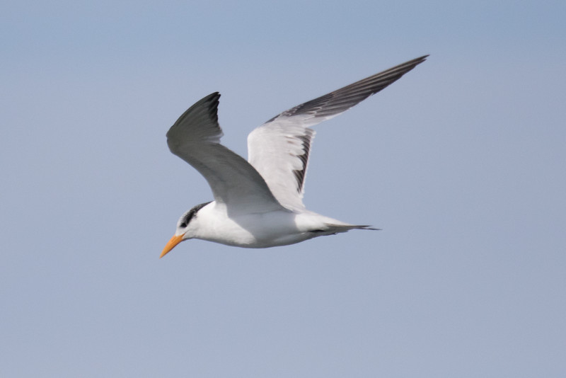 Royal Terns Fall 2019-2.jpg