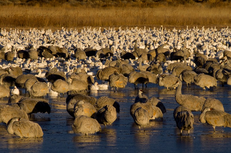 Sandhill Cranes Snow Geese Bosque del Apache NM IMG_9348.jpg