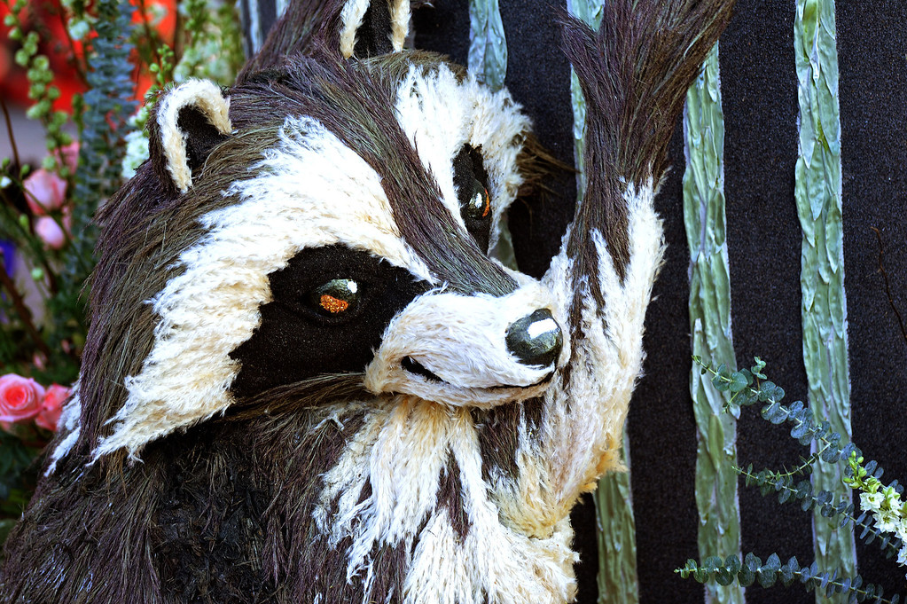 ". A raccoon clings to the City of Glendale ""Let\'s Be Neighbors\"" float during the 2014 Rose Parade in Pasadena, CA January 1, 2014.(Keith Durflinger/San Gabriel Valley Tribune)"