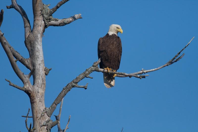 Bald Eagle CR29 Sax-Zim Bog MN IMG_0432.jpg