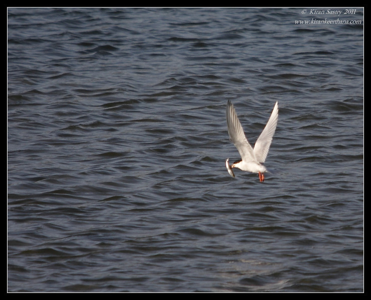 Forster's Tern with catch, Robb Field, San Diego River, San Diego County, California, April 2011