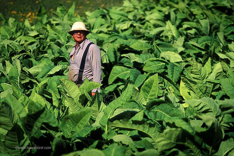 tobaco field farmer.jpg