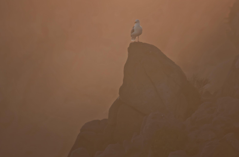 The simplicity of a seagull in the evening mist.  Pacific Grove, California, near Seven Gables.