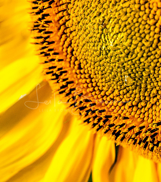 Sunflower droplet.jpg