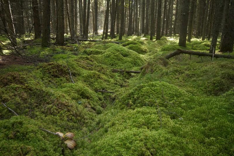 Sax-Zim Bog Black Spruce Murphy Road Winterberry Bog IMG_7072.jpg