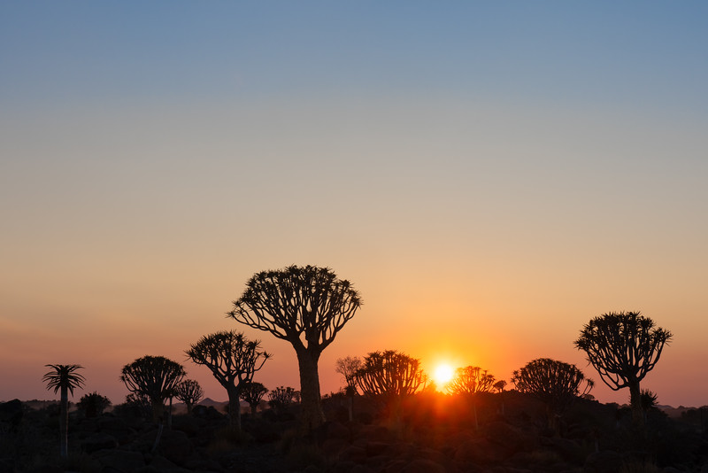 Rising Sun and Quiver Trees