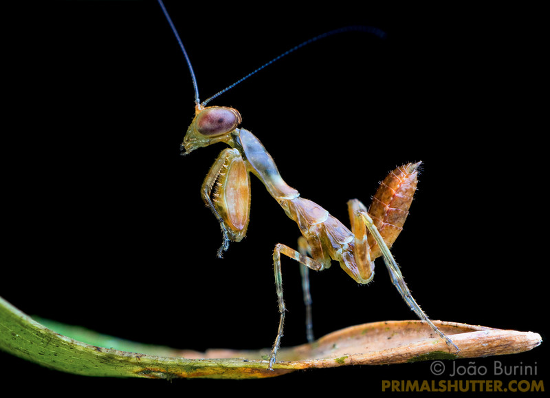 Dwarf praying mantis