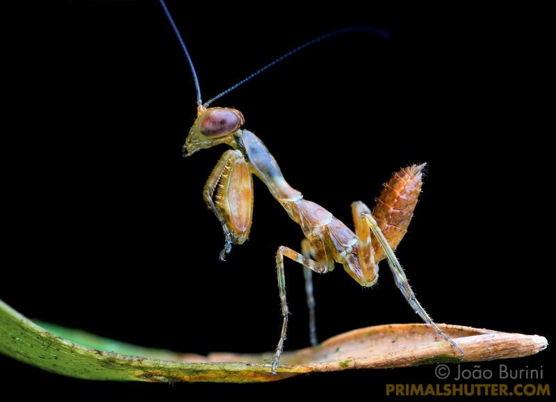 Dwarf praying mantis