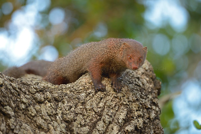 Ruddy mongoose on a tree