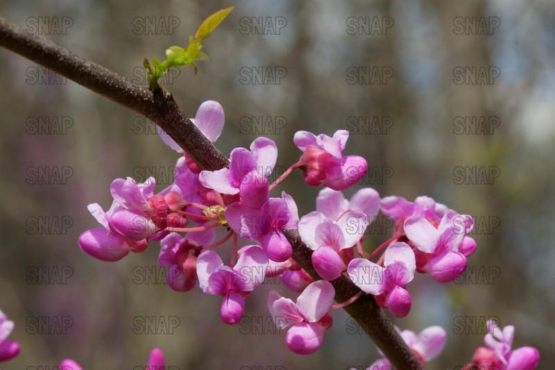 Redbud Tree Flowers