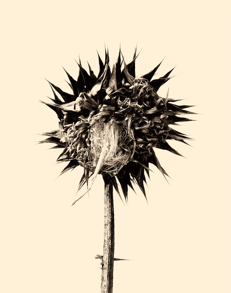 2012-07-15 Dead Flower Head Fredericksburg b&w DSC1431.jpg