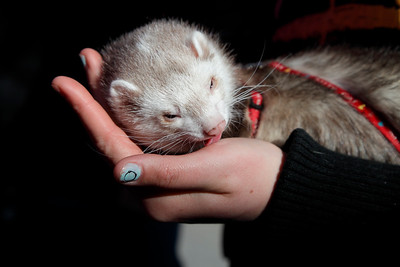 Pet ferret licking a hand