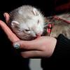 Pet ferret licking a hand
