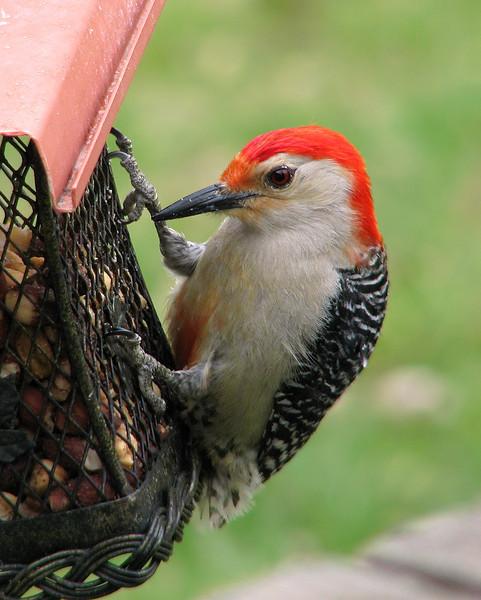 red_bellied_woodpecker_3524.jpg