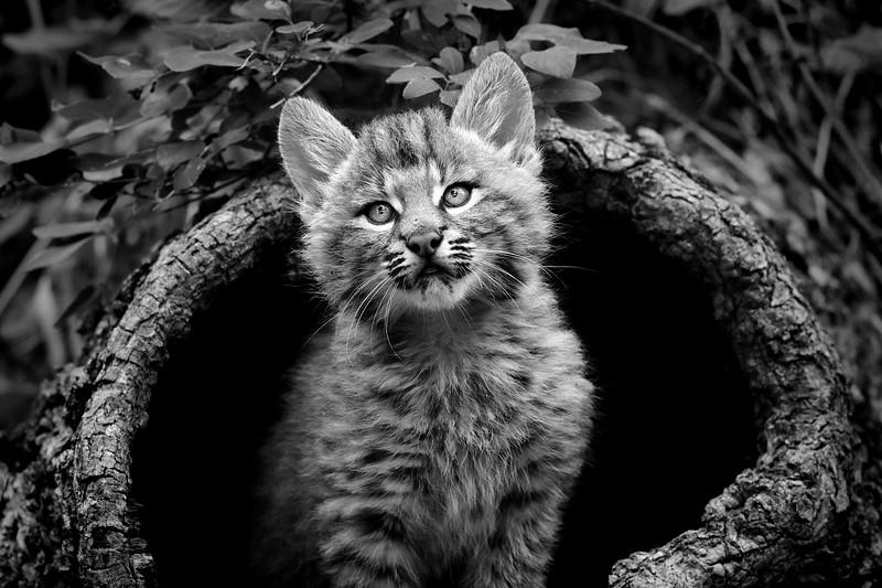 babyBobcat_artprint.jpg