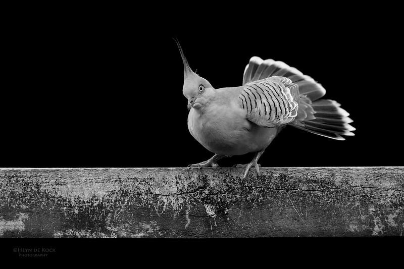 Crested Pigeon, b&w, Tallai, QLD, April 2017-2.jpg
