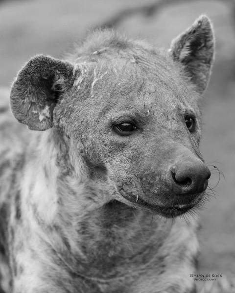 Spotted Hyena, b&w, Mashatu GR, Botswana, May 2017-5.jpg