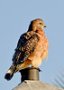 All Fluffed Up and No Place to Go:  Red-shouldered Hawk Near Eagle Nest DU013