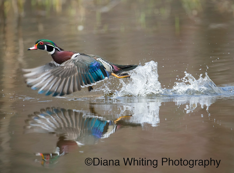 Wood Duck Take Off