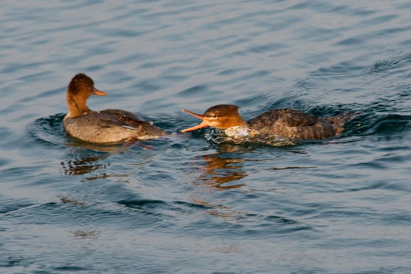 Merganser - Common - female - chasing - Grand Marais, MN