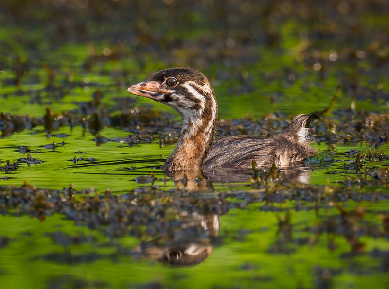 Pied-billed Grebe Juvenile