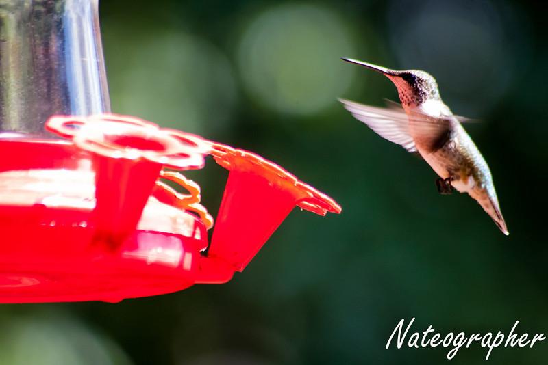 HummingBirds-4241.jpg