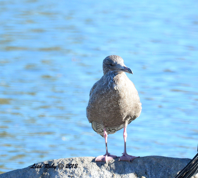 Confirmed as first winter Herring Gull