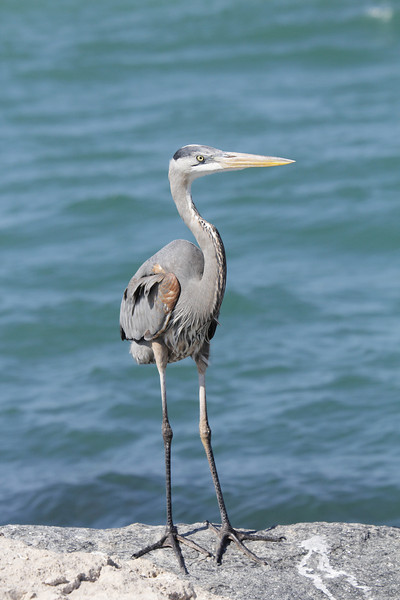 Great Blue Heron - these birds are just so majestic, especially with their breeding colors
