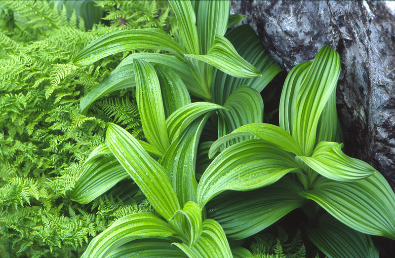 False Hellebore and ferns, Snoqualmie National Forest