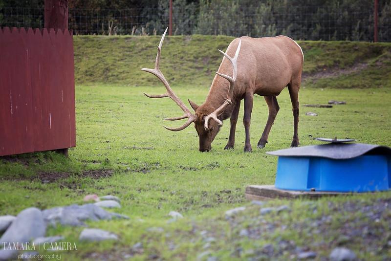 Bull Elk-6.jpg