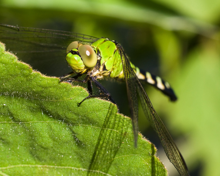 Eastern Pondhawk (Erythemis simplicicollis) Dragonfly