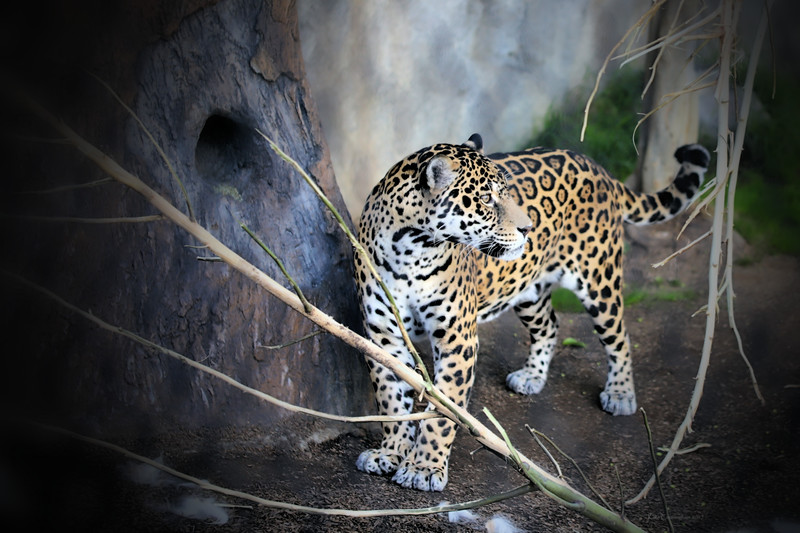 IMG_2763 Jaguar San Diego Zoo 12.28.2017 Signed Vignette Sharp.jpg