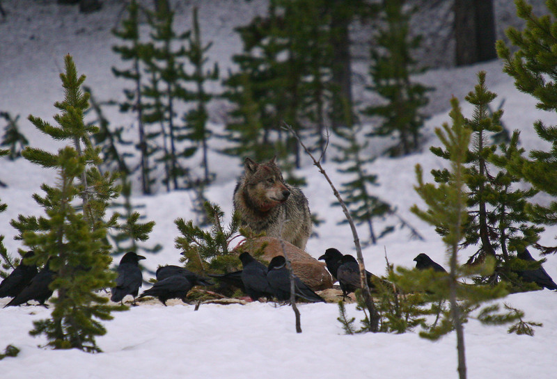 Member of the Canyon wolf pack feeds on an elk kill from the previous morning