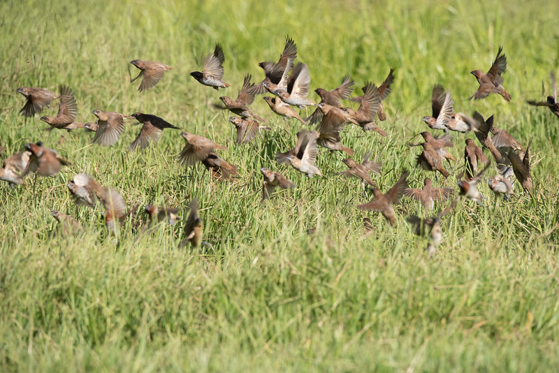 Flock of Scaly-breasted Munia taking off.