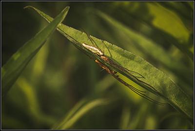 Schaduwstrekspin/Silver stretch spider
