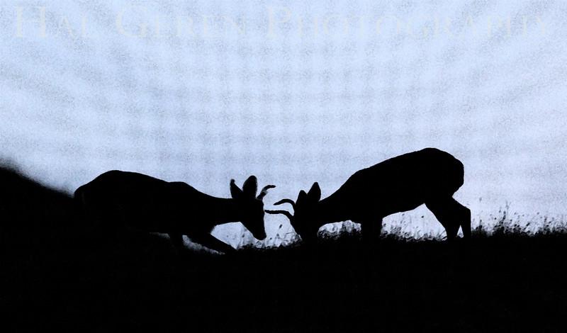 Deer testing their antlers Dry Creek Park, Fremont, California 1308DC-D5E1