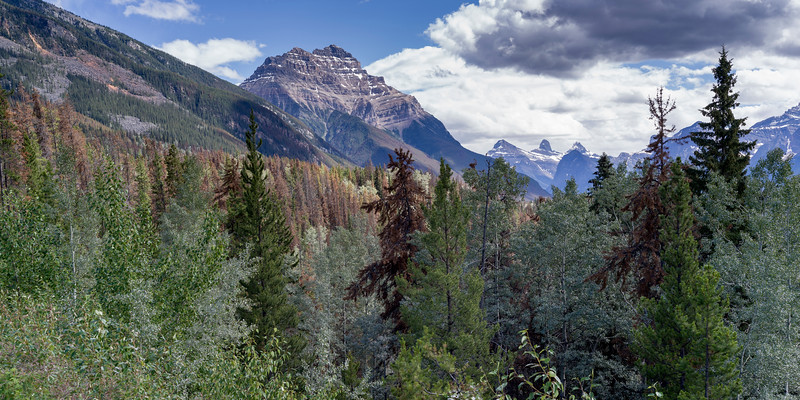 Forest with mountain in the background, Canadian Rockies, Icefields Parkway, Jasper, Alberta, Canada