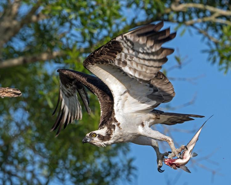 Osprey & Fish_500_7334.jpg