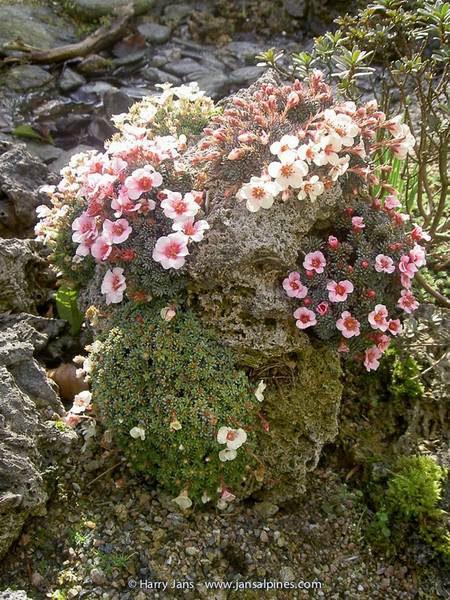 Saxifraga on tufa
