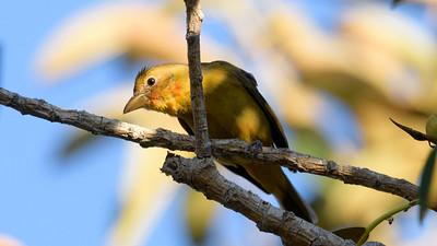 Balboa Park Birding 12/30/2017